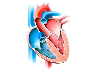 Illustration mit Querschnitt eines Herzens